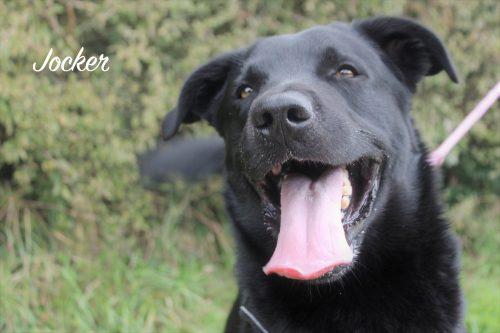 JOCKER - x labrador 4  ans  (3 ans de refuge) - SPAD à Chateaudun (28) Jocker