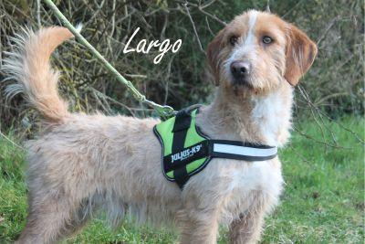 LARGO - basset fauve de bretagne 3 ans - SPAD à Chateaudun (28) Largo-1