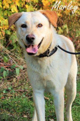 MARLEY - labrador 5 ans (4 ans de refuge) - SAPAD à Chateaudun (28) Marley
